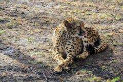 Der afrikanische Zoo des Gepards im Frühjahr steht auf dem ersten grünen Gras still Moskau, Russland Lizenzfreies Stockbild