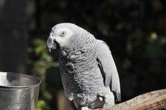 Der afrikanisches Grau-Papagei Lizenzfreie Stockfotos