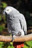 Der afrikanisches Grau-Papagei Stockbilder