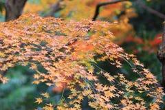 der Ahorn an den Enrian-Tempel-Herbstfarben Lizenzfreie Stockfotografie