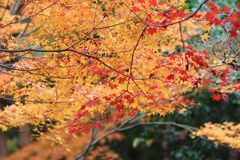 der Ahorn an den Enrian-Tempel-Herbstfarben Lizenzfreies Stockfoto