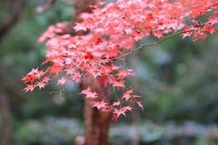 der Ahorn an den Enrian-Tempel-Herbstfarben Stockfotografie