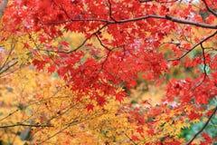 der Ahorn an den Enrian-Tempel-Herbstfarben Stockbilder