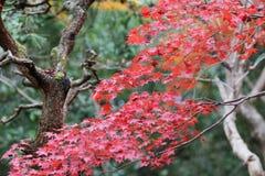der Ahorn an den Enrian-Tempel-Herbstfarben Stockfoto
