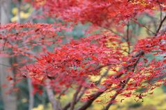 der Ahorn an den Enrian-Tempel-Herbstfarben Lizenzfreie Stockbilder