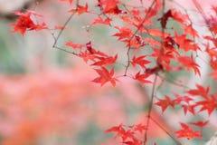 der Ahorn an den Enrian-Tempel-Herbstfarben Stockfotos