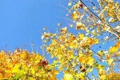 Der Ahorn des Herbstes Lizenzfreies Stockbild