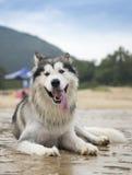 Der alaskische Malamute, der auf dem Strand liegt Stockbild