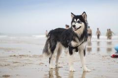 Der alaskische Malamute, der auf dem Strand steht Lizenzfreie Stockbilder