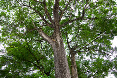 Der Albiza-saman Regen-Baum Stockbild