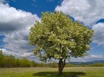 Der alleine blühende Baum und der bewölkte Himmel Stockbilder