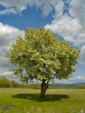 Der alleine blühende Baum und der bewölkte Himmel Stockfotografie
