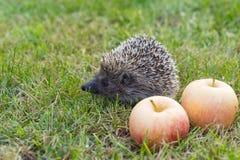 Der allgemeine Igeles Lat Erinaceus europaeus mit Äpfeln auf dem Gras Lizenzfreie Stockfotografie