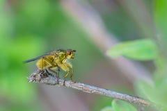 Der allgemeine Stubenfliege Lat Musca domestica Fruchtfliege Lat Diptera, der auf einer Niederlassung sitzt Stockbild