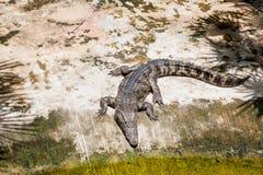 Der Alligator aalt sich in der Sonne Krokodilbauernhof, Thailand Stockfotos