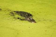 Der Alligator, der in Algen lauert, füllte das See-Gegenüberstellen Stockfoto