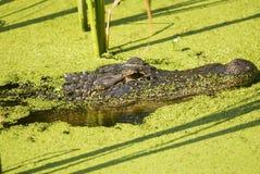 Der Alligator, der in Algen lauert, füllte See-Profil Lizenzfreie Stockbilder
