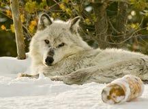 Der Alphawolf, der auf einen Schnee legt, bedeckte Hügel Stockfoto