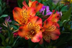 Der Alstroemeria, der allgemein die peruanische Lilie oder Lilie der Inkas genannt wird, ist eine Klasse von Bl?tenpflanzen im Fa stockfotos