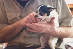 Der alte ältere Mann, der mit den kleinen Chihuahua spielt Übergibt Nahaufnahmeschuß Stockfoto