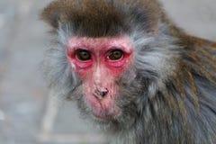 Der alte Affe Lizenzfreies Stockfoto