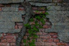 Der alte Backsteinmauer- und Baumstamm Stockbilder