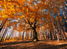 Der alte Baum Lizenzfreies Stockfoto