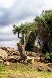 Der alte Baum auf einem Abhang in Jerusalem Lizenzfreies Stockfoto
