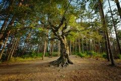 Der alte Baum, Belintash-Schongebiet, Bulgarien Lizenzfreies Stockfoto
