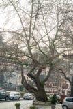 Der alte Baum in der Mitte von Melnik in Bulgarien Lizenzfreies Stockbild