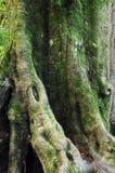 Der alte Baum in einem grünen Wald Lizenzfreies Stockfoto