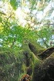 Der alte Baum in einem grünen Wald Stockfoto