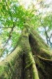 Der alte Baum in einem grünen Wald Lizenzfreie Stockfotografie