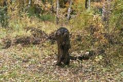 Der alte Baum gefällt am Waldherbsttag im Park Lizenzfreies Stockbild
