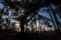 Der alte Baum nahe Belintash, Bulgarien Stockfoto