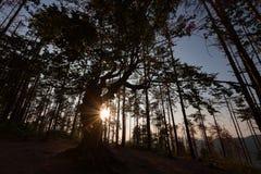 Der alte Baum nahe Belintash, Bulgarien Stockfotografie