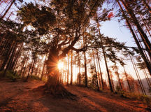 Der alte Baum nahe Belintash, Bulgarien Stockbilder