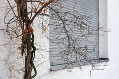 Der alte Baum vor dem geschlossenen Fenster Stockfotos