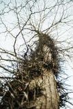 Der alte Baum wird mit den Kribbeln, abstrakter Hintergrund des Falles verdreht Stockfoto