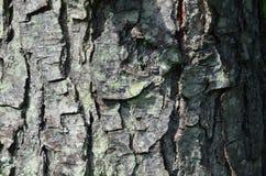 Der alte Baumstamm vom longoz Stockfoto