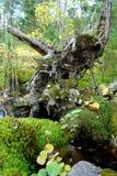 Der alte Baumstumpf ist wie ein legendärer Hund Lizenzfreie Stockbilder