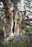 Der alte Eibenbaum Königs Harold in Crowhurst-Kirchhof nordwestlich Hastings, Ost-Sussex, England Stockbilder