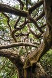 Der alte Eibenbaum Königs Harold in Crowhurst-Kirchhof nordwestlich Hastings, Ost-Sussex, England Stockbild