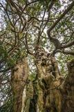 Der alte Eibenbaum Königs Harold in Crowhurst-Kirchhof nordwestlich Hastings, Ost-Sussex, England Lizenzfreie Stockfotografie