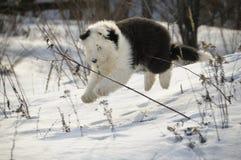 Der alte englische Schäferhund Lizenzfreie Stockfotos