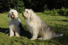 Der alte englische Schäferhund und der russische Schäfersüdhund Stockfoto