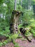 Der alte faule Baum bedeckt mit pilzartiger Nabe Stockbild