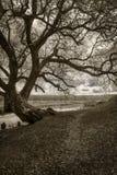 Der alte große verzweigte Baum auf der Flussbank Einfarbiges Foto Lizenzfreie Stockfotografie