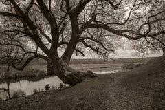 Der alte große verzweigte Baum auf der Flussbank Einfarbiges Foto Lizenzfreie Stockbilder