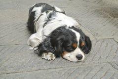 Der alte Hund liegt auf einer Pflasterung Lizenzfreie Stockbilder